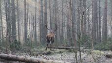 Uratowany jeleń biegiem podążający w leśne odstępy
