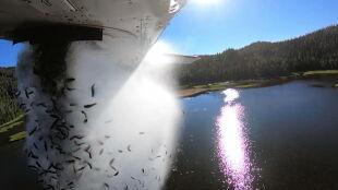 """Trzydzieści pięć tysięcy """"latających ryb"""". Niezwykłe nagranie z Utah"""