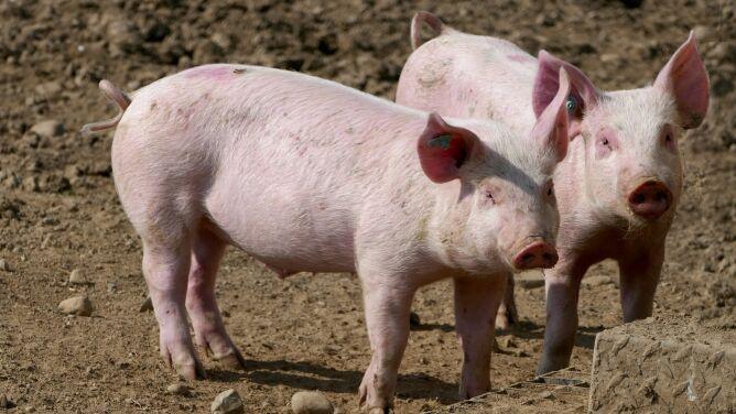 Mózgi świń częściowo ożyły po czterech godzinach od śmierci