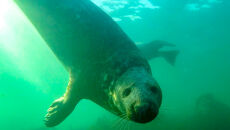 Foka szara pod wodą (Dr Ben Burville, Newcastle University)